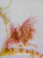 Pregnant Hairy Algae Shrimp - Full Frame with White Slate backdrop E-M1 with 60mm +SMC +SMC Multiplier