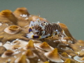 Bumble Bee Shrimp on the back of a Sea Cucumber (approx. 5mm), shot with Oly 60mm macro and Subsee +15