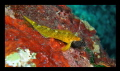 Tripterygion delaisi - Coral Bay, Pistol Bay- 10m.