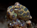 Blue Ring Octopus on Night Dive - approximately 3/4