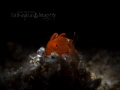 King of the Castle Single Juvenile Frogfish sitting on a small mound of sand.  Fibre Optic Snoot Lighting