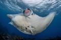 Manta ray with an