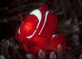 Spinecheeck Anemonefish, Female Portrait 5188x3706