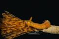 [:b:]Polycera elegans[:/b:]