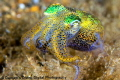 When cruising over an algae growth in secret bay this Bobtail Squid was a very pale color hiding above the bottom and changed color to this vivid array