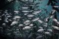 S P L I T . O U T Jack fish (Caranx lugubris) Pom Pom Island, Malaysia. March 2015