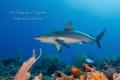 Reef Shark in the Reef, San Pedro Belize