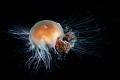 Lion s mane jellyfish . Inside passage  Alaska.   Subal underwater housing  Canon 5D mk2  Canon 8 15mm fish @ 15mm  f11  1/160  ISO200  2x Inon Z240 strobes