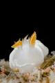 S U N D A Y . B R E A K Nudibranch  Ardeadoris angustolutea  Pom Pom Island  Malaysia. March 2015