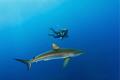 Silky shark   diver