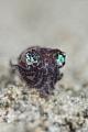B O B B Y  Bobtail squid  Sepiolida  Anilao  Philippines. May 2014