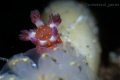 Very Small Nudi
