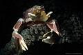 Porcelain Crab, Amed