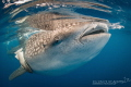Whale shark & Remora