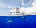 Oceanic White Tips buzzing the dive boat at Cat Island!