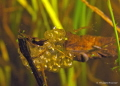 Fresh water snail eggs.