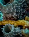 Arrow Crab w/ Soft Coral
