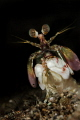 S M A S H E R  Pink eared Mantis shrimp  Gonodactylidae  Anilao  Philippines. January 2015