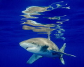 Surface reflections from an oceanic white tip in Cat Island