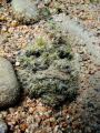 Camouflaged: buried stonefish in sandy slope