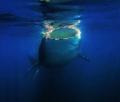 Whale Shark, Isla Holbox