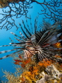 Lionfish at the shipwreck