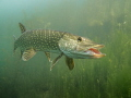 Say hello , northern pike