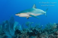 Great Reef Shark, San Pedro Belize