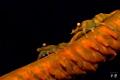 Zanzibar whip coral shrimps