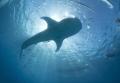 Whaleshark Sun burst - Oslob Philippines