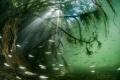 freshwater  mangrove   H rault  France