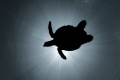 The soaring turtle.