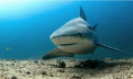 Вull shark  Santa Luchia