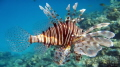 Red Sea  Lion fish  Pterois antennata 