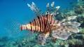 Red Sea  Lion fish  Pterois antennata  Egypt  Hurghada  Sahl Hasheesh Bay...