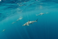 Blacktip reef sharks are patrolling water around dive boat in Palau.