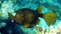 Boxfish  Ostracion cubicus  Egypt  Hurghada  Sahl Hasheesh Bay...