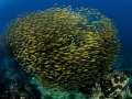 The Hive ... Oxeye Scad   Selar boops. Sail Rock  Thailand EM5 Panasonic 8mm iso400 f6.3 1/160 Inon D2000x2
