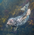 Atlantic Grey Seal  Longships Seal Colony  Lands End  Cornwall. Nikon D810 20mm lens  natural light