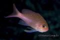 Pink Mediterranean Damsel fish