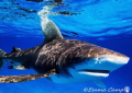 A shot of an oceanic white tip taken whilst snorkeling in the Bahamas as she came to say hello!