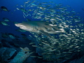 Bait Fish Blues Bait fish surround a sand tiger shark in the gorgeous blue waters off the coast of North Carolina.