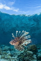 Lionfish with reef reflections