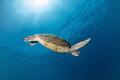 S W I M  Green sea turtle (Chelonia mydas) Pom Pom Island (Sabah), Malaysia. March 2015