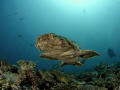 Flying carpet - Wobbegong shark swimming