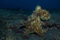Octopus - Reunion Island