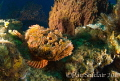 on my way back from Neman's Wall to the Prince Albert where our boat was tied up, I noticed this scorpionfish.  Since I had the FE lens on, I decided to try and do a close focus/wide angle shot with him as the subject.