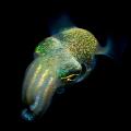 bobbit squid