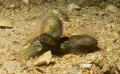 mating squid