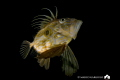 John Dory, Night dive